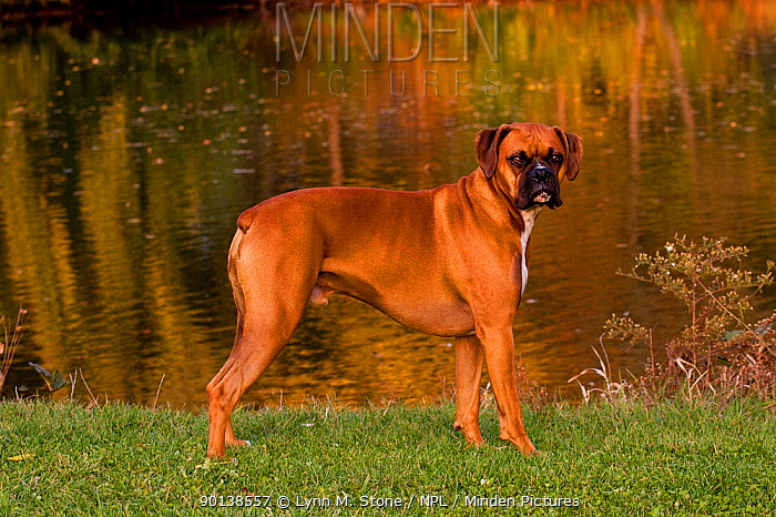 Portrait of male Boxer, fawn coloured, with natural ears, standing in show stack posture on grass by lake, Illinois, USA  -  Lynn M. Stone/ npl
