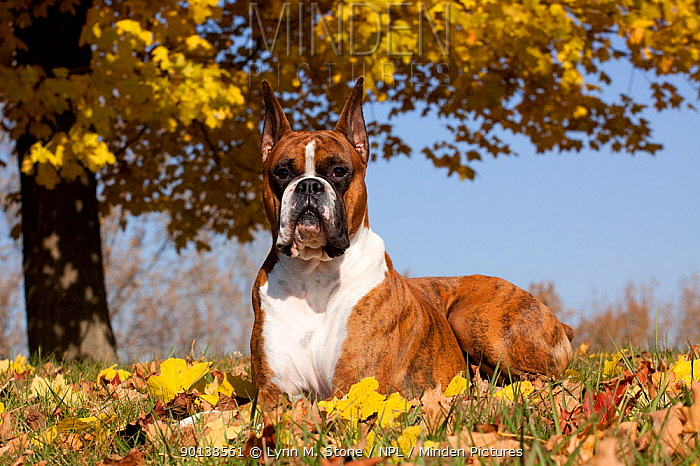 Portrait of Boxer, light brindle coloured with cropped ears, lying down in leaves under yellow maple, October, Illinois, USA  -  Lynn M. Stone/ npl