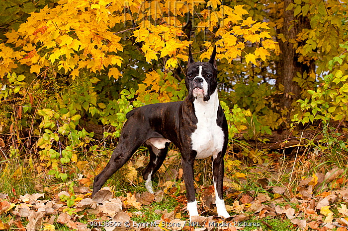 Portrait of Boxer, dark brindle coloured with cropped ears, standing in show stack posture, under yellow maple, October, Illinois, USA  -  Lynn M. Stone/ npl