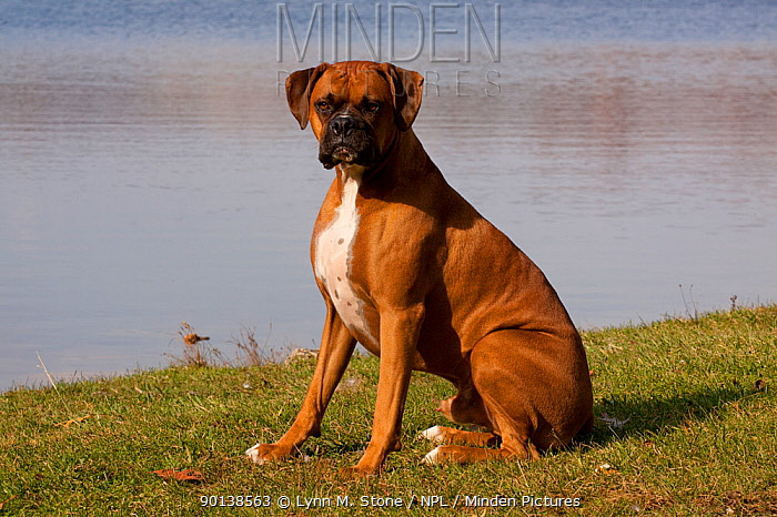 Portrait of male Boxer, fawn coloured with natural ears, sitting on lake shore, Illinois, USA  -  Lynn M. Stone/ npl