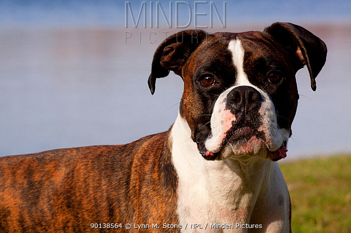Portrait of male Boxer, light brindle coloured with natural ears, standing by lake shore, Illinois, USA  -  Lynn M. Stone/ npl