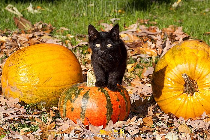 Portrait of black Kitten with pumpkins, oak leaves, Illinois, USA  -  Lynn M. Stone/ npl