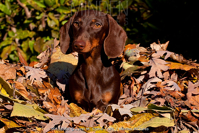 Portrait of Miniature Dachshund (smooth haired) in autumn leaves, Illinois, USA  -  Lynn M. Stone/ npl