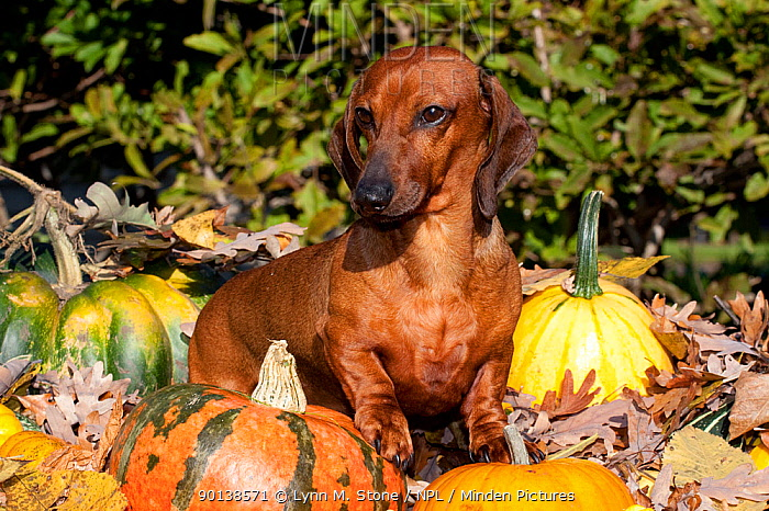 Portrait of Miniature Dachshund (red coloured and smooth haired) in autumn leaves, Illinois, USA  -  Lynn M. Stone/ npl
