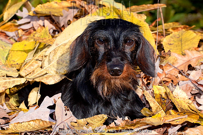 Portrait of Miniature Dachshund (wire haired) in autumn leaves, Illinois, USA  -  Lynn M. Stone/ npl