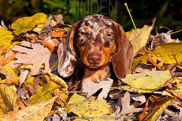 Portrait of Miniature Dachshund, smooth haired, covered in autumn leaves, Illinois, USA  -  Lynn M. Stone/ npl