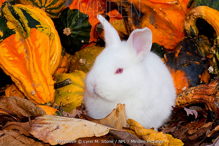 Portrait of young white New Zealand breed of domestic Rabbit (Oryctolagus) white Illinois, USA  -  Lynn M. Stone/ npl