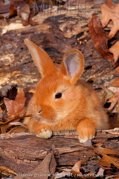 Portrait of brown coated young New Zealand domestic Rabbit (Oryctlagus) in leaves, Illinois, USA  -  Lynn M. Stone/ npl