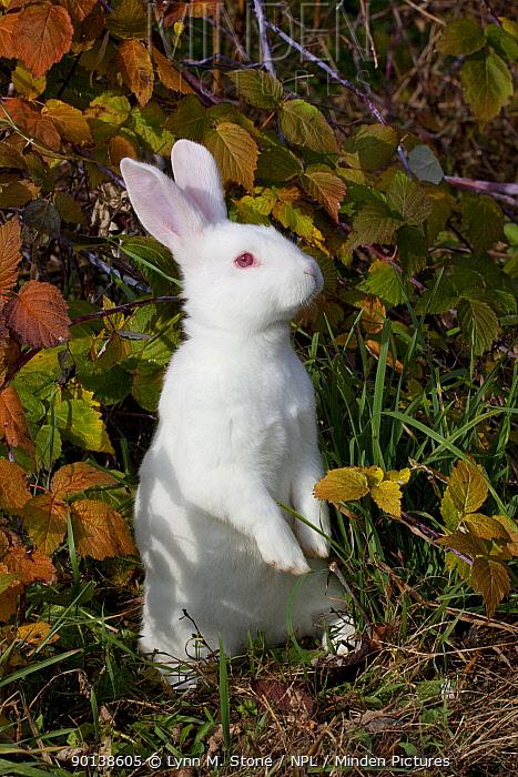 Portrait of adult white New Zealand breed of domestic Rabbit (Oryctolagus) sitting upright, Illinois, USA  -  Lynn M. Stone/ npl