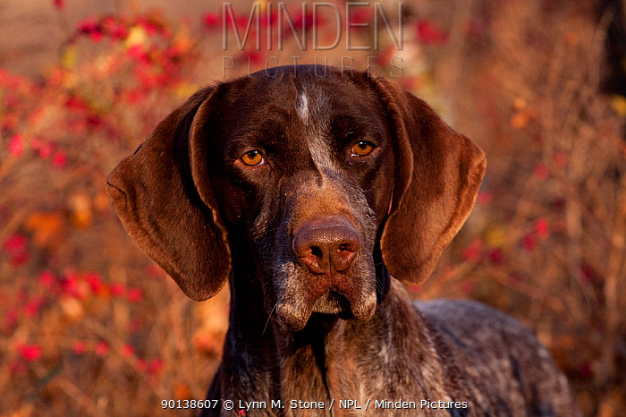 Portrait of German Shorthair Pointer in thicket of pink berries, Illinois, USA  -  Lynn M. Stone/ npl