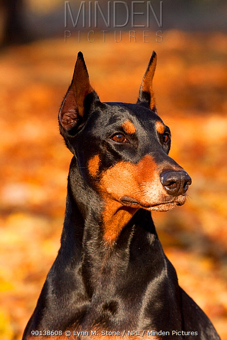 Portrait of female Doberman Pinscher sitting in yellow maple leaves, Illinois, USA  -  Lynn M. Stone/ npl