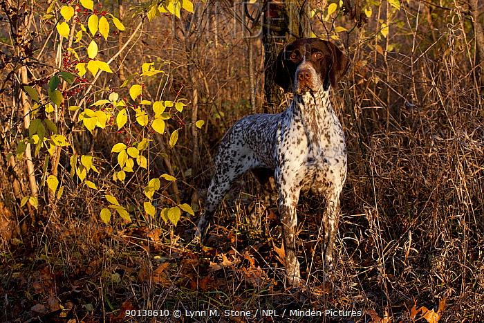 Portrait of German Shorthair Pointer in woodland, Illinois, USA  -  Lynn M. Stone/ npl
