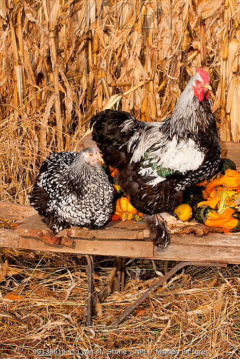 Cochin rooster, cockerel and hen (Gallus gallus domesticus) perched on antique wooden wheelbarrow loaded with gourds in late autumn, Iowa, USA  -  Lynn M. Stone/ npl