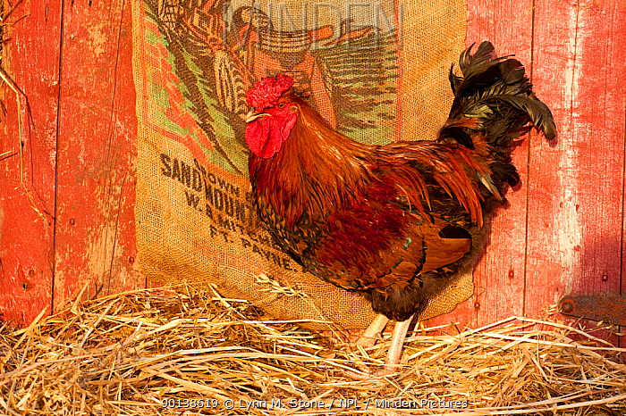 Rooster, Cockerel (Gallus gallus domesticus) standing in straw in barn, Iowa, USA  -  Lynn M. Stone/ npl