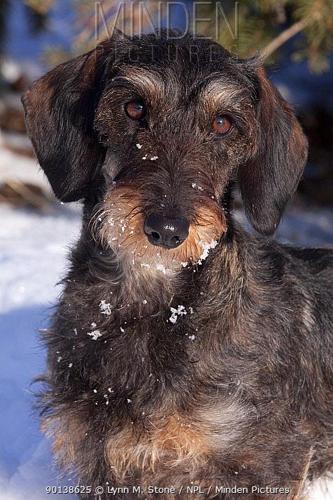 Head portrait of Miniature Dachshund, black and tan coloured, wire haired, Illinois, USA  -  Lynn M. Stone/ npl