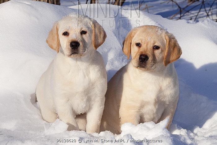 Two Yellow Labrador Retriever puppies sitting in snow, Illinois, USA  -  Lynn M. Stone/ npl
