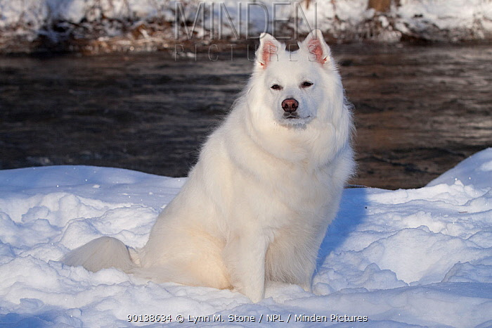 American Eskimo dog sitting in snow, Illinois, USA  -  Lynn M. Stone/ npl