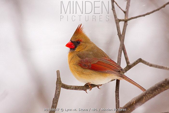 Female Northern Cardinal (Cardinalis cardinalis) perched on branch in snow storm, Illinois, USA  -  Lynn M. Stone/ npl