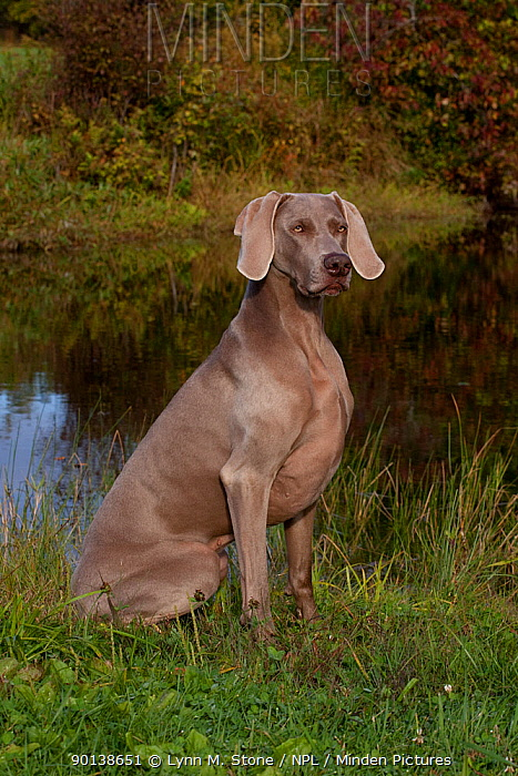 Weimaraner sitting in fields of clover at edge of pond, Connecticut, USA  -  Lynn M. Stone/ npl