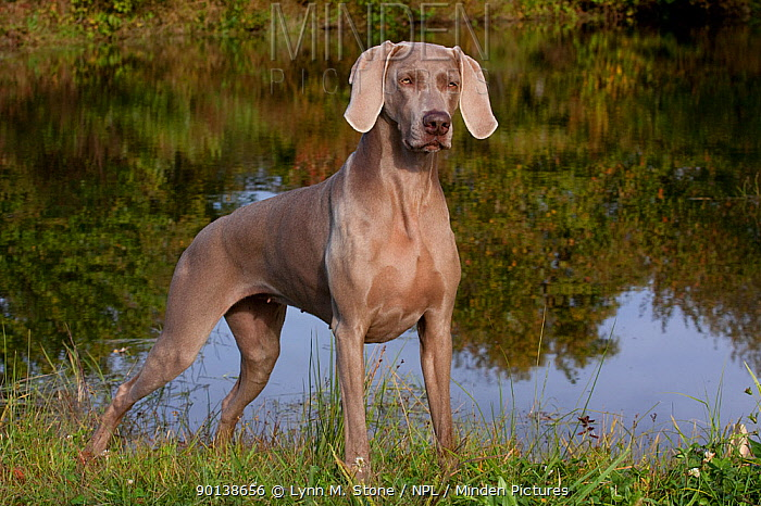 Weimaraner standing in show-stack posture in field of clover, at edge of pond, Connecticut, USA  -  Lynn M. Stone/ npl