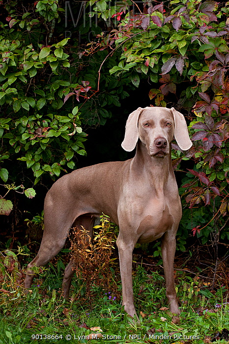 Portrait of Weimaraner standing in show stack posture, by Virginia creeper vines, Connecticut, USA  -  Lynn M. Stone/ npl