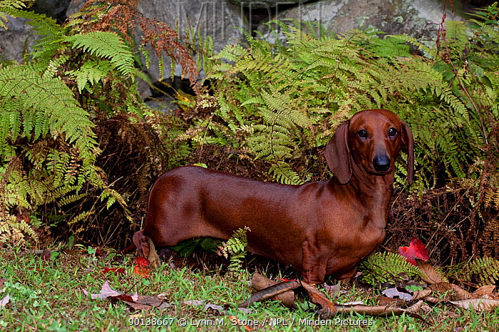 Shorthaired red coloured Dachshund standing among ferns by Connecticut, USA  -  Lynn M. Stone/ npl