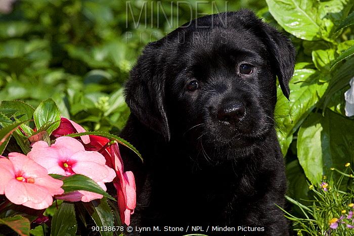 Head portrait of Black Labrador Retriever puppy in garden, Connecticut, USA  -  Lynn M. Stone/ npl