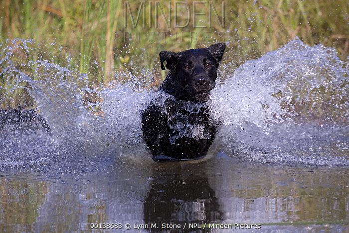 Black Labrador Retriever plunging into pond on a retrieve Illinois, USA  -  Lynn M. Stone/ npl