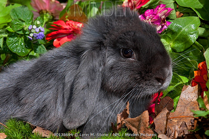 Portrait of blue coated Holland Lop eared Rabbit amongst flowers, Connecticut, USA  -  Lynn M. Stone/ npl