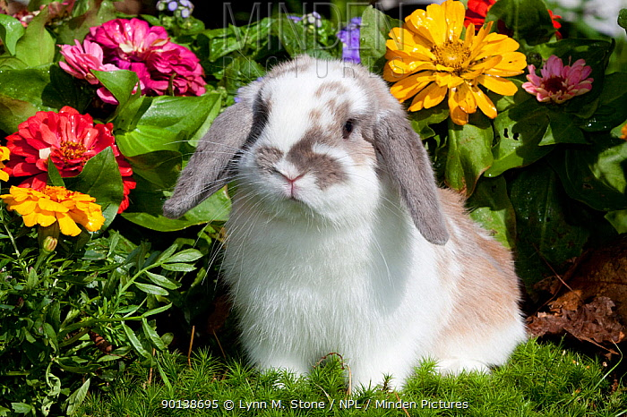 Portrait of brown and white coated Holland Lop eared Rabbit amongst flowers, Connecticut, USA  -  Lynn M. Stone/ npl
