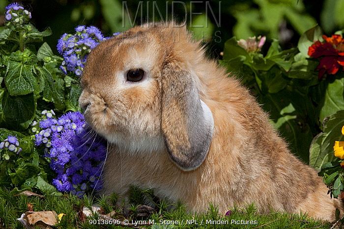 Portrait of brown coated Holland Lop eared Rabbit amongst flowers, Connecticut, USA  -  Lynn M. Stone/ npl