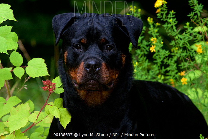 Head portrait of Rottweiler standing in field flowers and summer vegetation, Connecticut, USA  -  Lynn M. Stone/ npl
