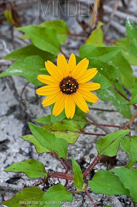 Black-Eyed Susan (Rudbeckia hirta) flower, Sanibel Island, Florida, USA  -  Adrian Davies/ npl