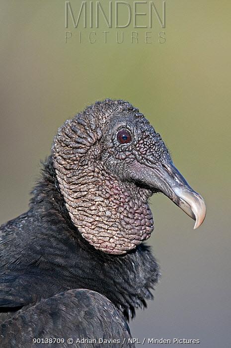 Head portrait of Black vulture (Coragyps atratus) Everglades, Florida, USA  -  Adrian Davies/ npl