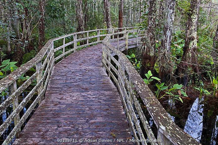 Raised boardwalk, walkway, through Corkscrew Swamp Sanctuary, Florida, USA  -  Adrian Davies/ npl