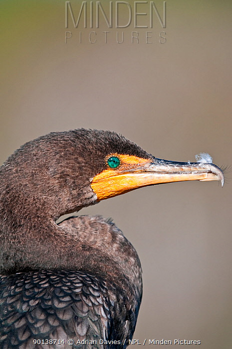 Head portrait of Double-crested cormorant: (Phalacrocorax auritus) Everglades, Florida, USA  -  Adrian Davies/ npl