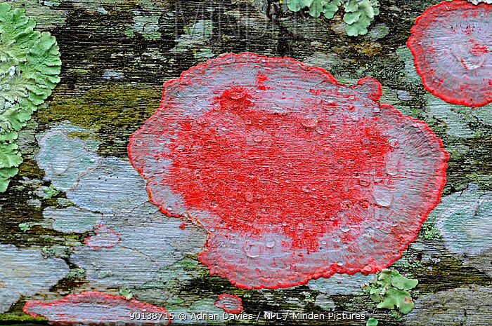 Christmas, Blood lichen (Cryptothecia rubrocincta)  -  Adrian Davies/ npl