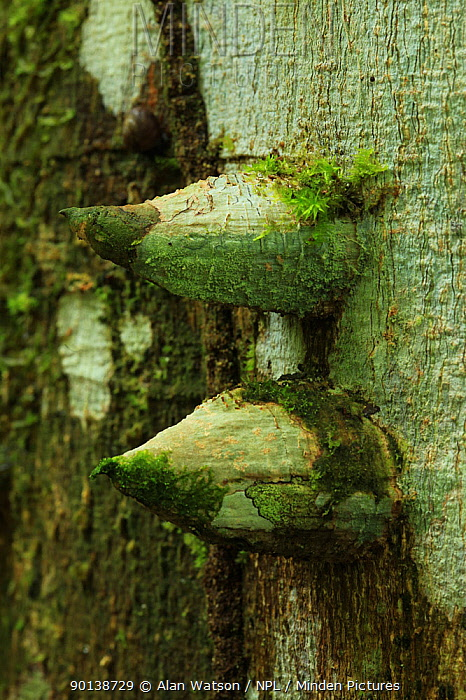 Spine-covered trunk of a White pricklyash tree(Zanthoxylum martinicense) in lowland tropical rainforest, Los Haitises National Park, Dominican Republic, Caribbean  -  Alan Watson/ npl