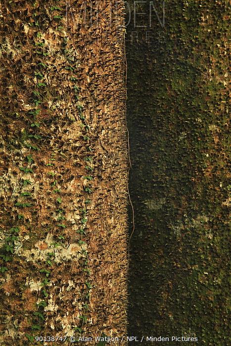 Spine-covered trunk of a Sandbox, Jabillo tree (Hura crepitans) in tropical rainforest growing over limestone, near Los Haitises National Park, Dominican Republic, Caribbean  -  Alan Watson/ npl
