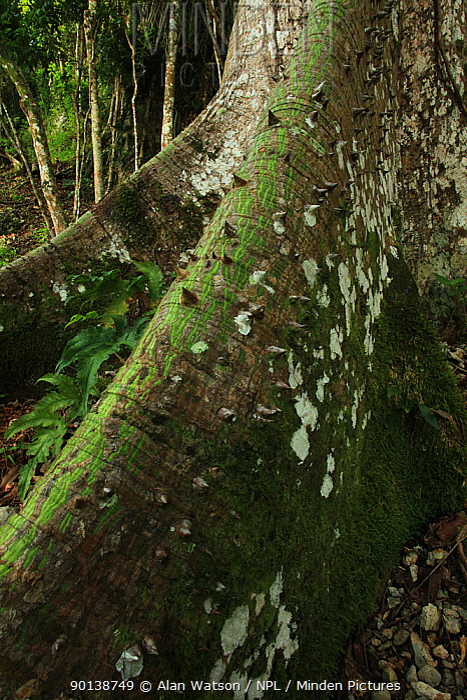 Spine-covered buttress of a Ceiba, Kapok tree (Ceiba pentandra) in tropical rainforest growing over limestone, near Los Haitises National Park, Dominican Republic, Caribbean  -  Alan Watson/ npl