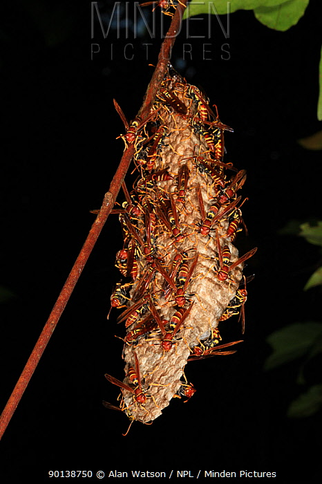 Wasp nest in tropical rainforest, Los Haitises National Park, Dominican Republic  -  Alan Watson/ npl