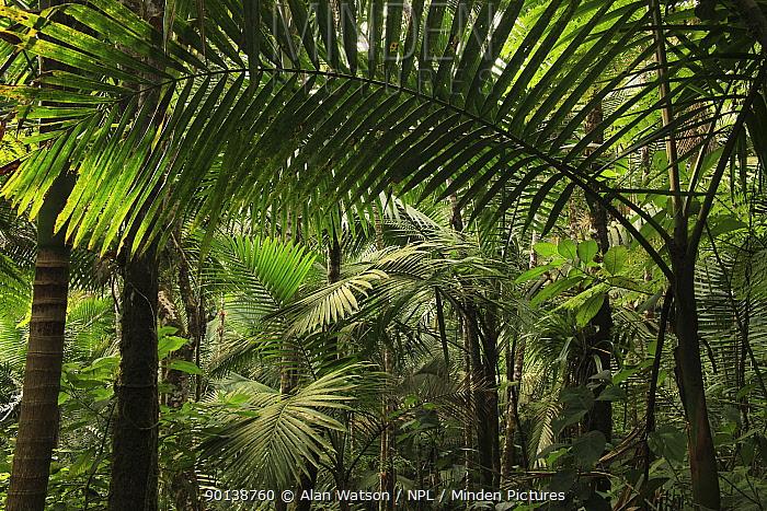 Manacla, Sierra palm (Prestoea montana) in tropical rainforest at 770 metres, Loma Quita Espuela Scientific Reserve, Dominican Republic, Caribbean  -  Alan Watson/ npl