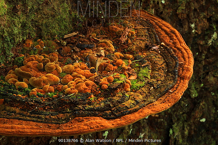 Bracket fungus on a Bullwood, Cacao cimarron tree (Sloanea berteriana) in lowland tropical rainforest at 400 metres, Loma Quita Espuela Scientific Reserve, Dominican Republic  -  Alan Watson/ npl