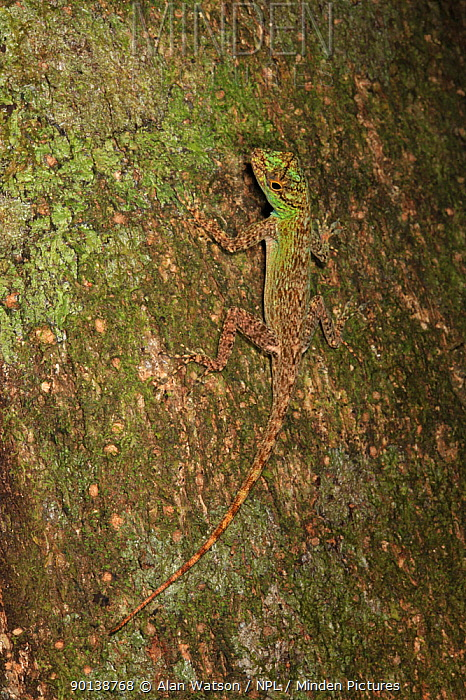 Anole lizard (Anolis sp) on the trunk of a jina tree (Inga criolla) in lowland tropical rainforest at 430 metres, Loma Quita Espuela Scientific Reserve, Dominican Republic, Caribbean  -  Alan Watson/ npl