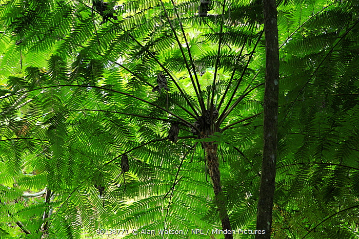 Frond pattern of tree ferns (Cyathea arborea) in lowland tropical rainforest at 420 metres, Loma Quita Espuela Scientific Reserve, Dominican Republic  -  Alan Watson/ npl