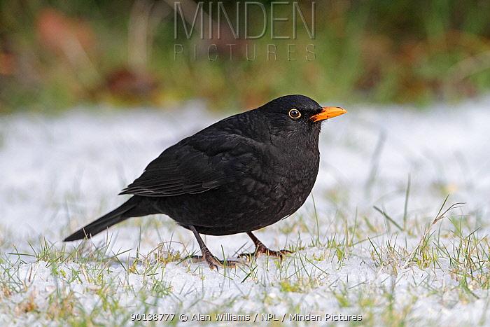 Male Blackbird (Turdus merula) on snow covered lawn, Cheshire, UK, December  -  Alan Williams/ npl
