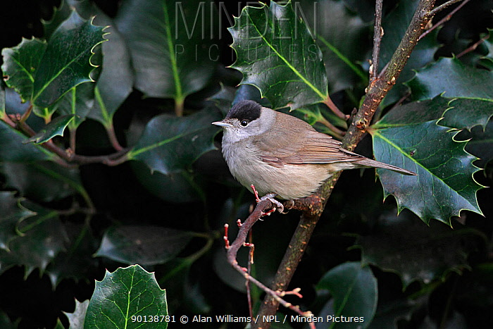 Male Blackcap (Sylvia atricapilla) perched on holly branch, Cheshire, UK, December  -  Alan Williams/ npl