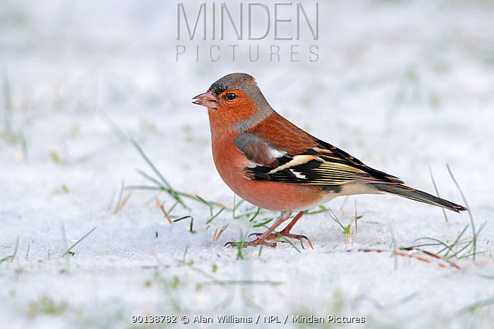 Male chaffinch (Fringilla coelebs) on snow covered lawn, Cheshire, UK, December  -  Alan Williams/ npl