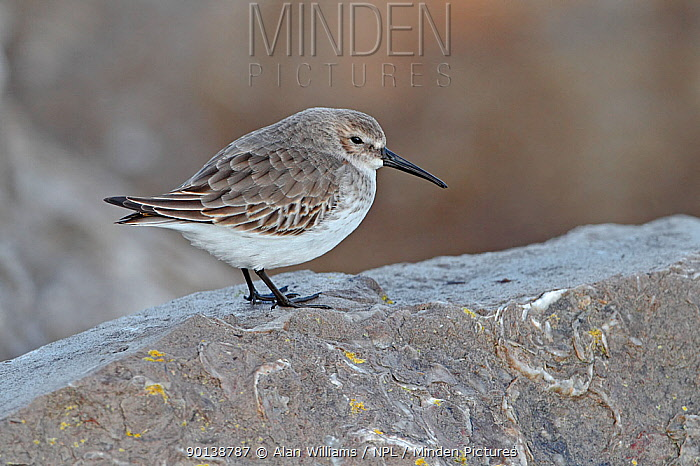 Dunlin (Calidris alpina) roosting on rock at high tide in winter plumage, Colwyn Bay, North Wales, UK,  -  Alan Williams/ npl