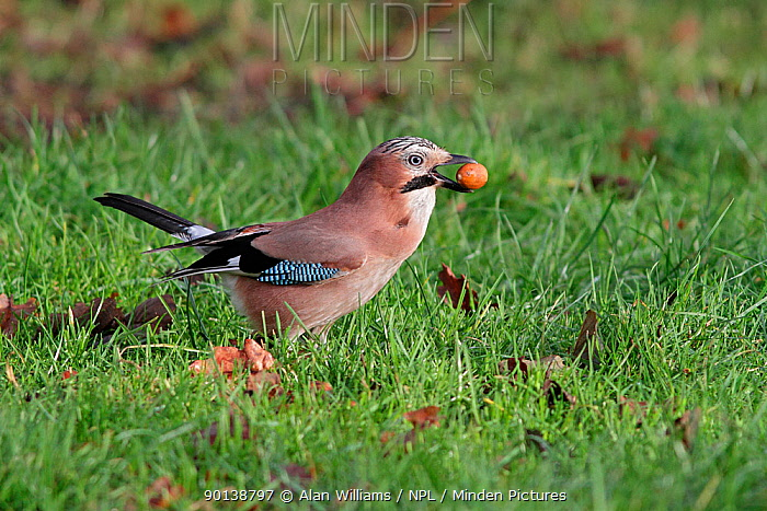 Jay (Garrulus glandarius) on grass, with acorns in beak and crop before burying them in woodland, Cheshire, UK, December  -  Alan Williams/ npl